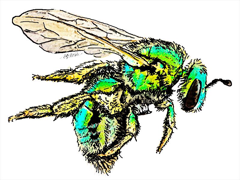Halictidae_native bee