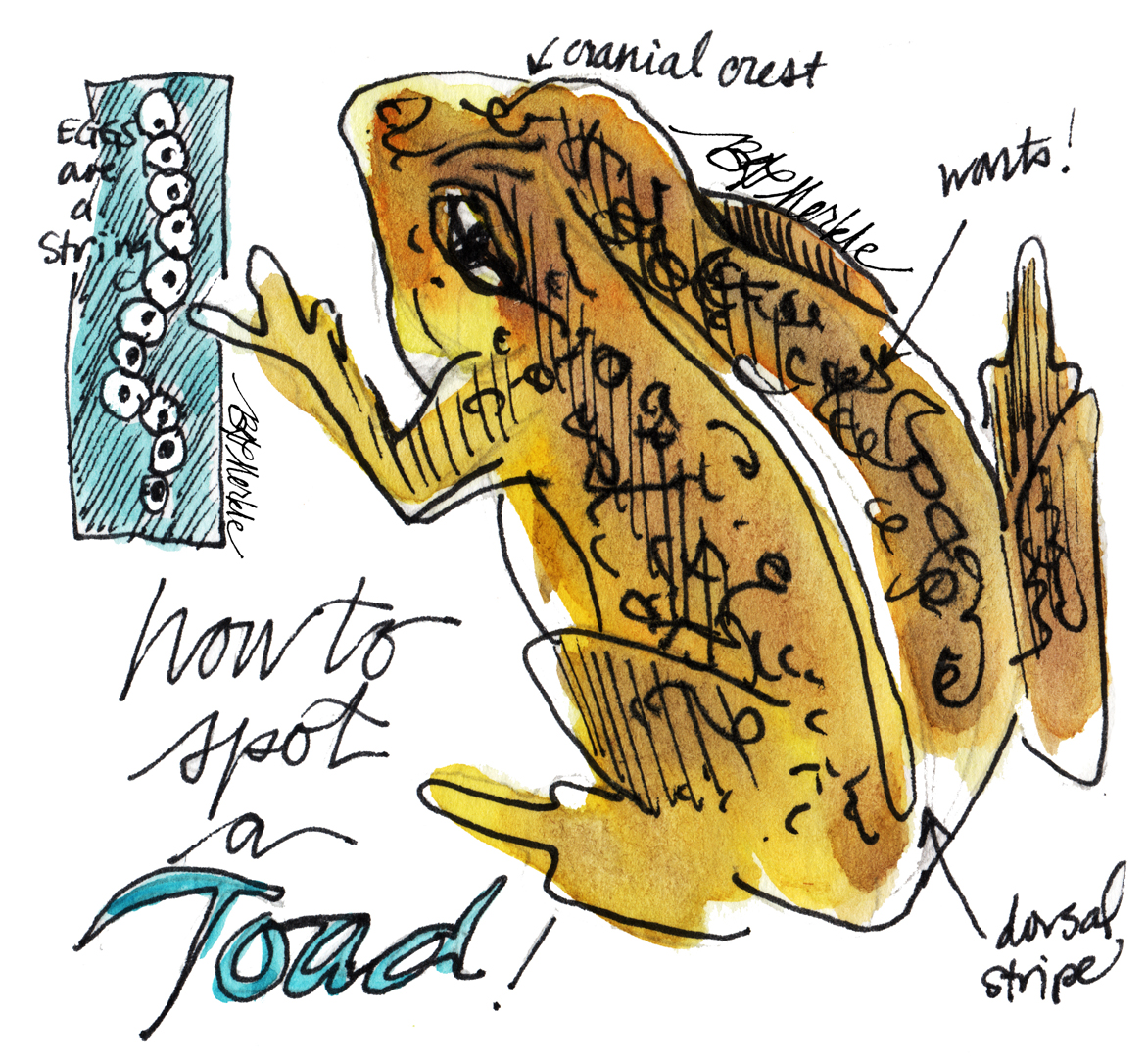 Diagram of how to identify toad (as different from frog)_Illustration by Bethann Garramon Merkle, copyright 2015