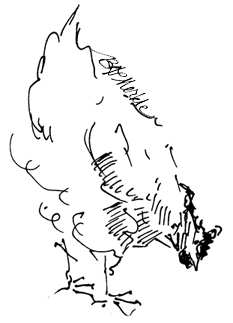 Line drawing of chicken_Illustration by Bethann Garramon Merkle, copyright 2009