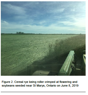 Figure 2. Cereal rye being roller crimped at flowering and soybeans seeded near St Marys, Ontario on June 8, 2019