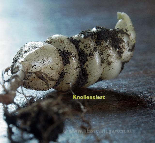 der Knollenziest, verwandt mit dem Michelinmännchen