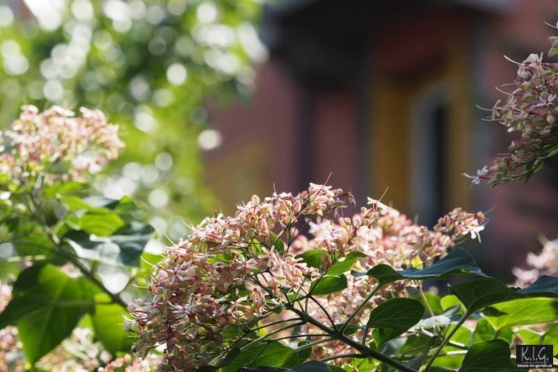 Losbaum am Eingang des Civico Orto Botanico, Triest