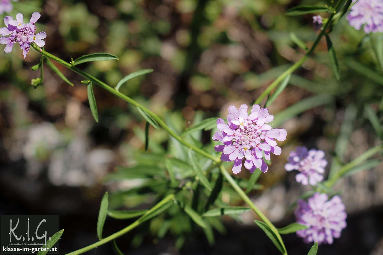 Giardino Botanico Carsiana- Knautia species?
