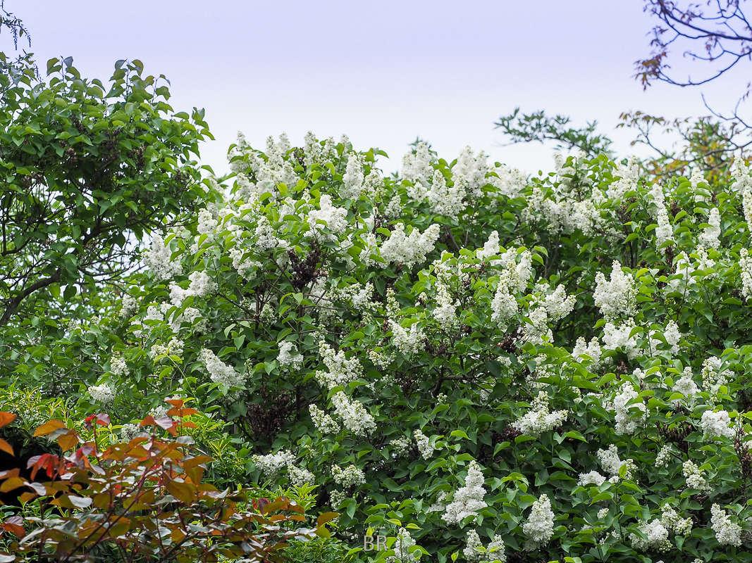 Alter Fliederbaum mit weissen Blüten