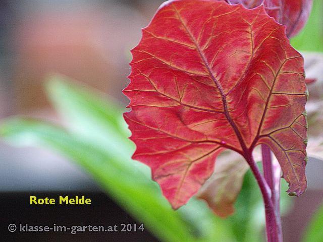 Atriplex hortensis 'Rubra', die rotlaubige Gartenmelde