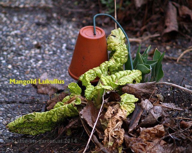 Mangold 'Lukullus', winterresistent