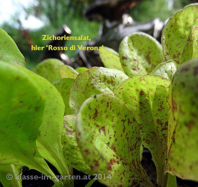 Zichoriensalate gibt es mit bunten Blättern