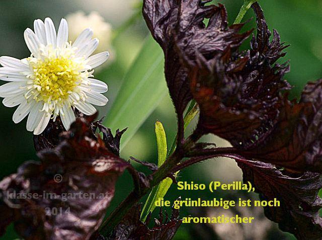 rotlaubiges Shiso (Perilla frutescens)