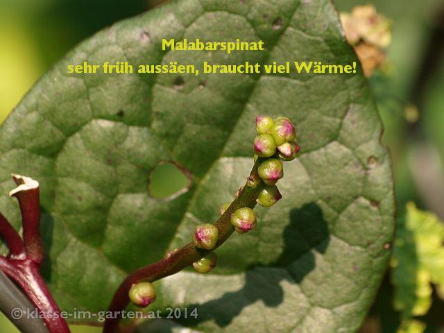Malabarspinat, Blatt und Blütenstand