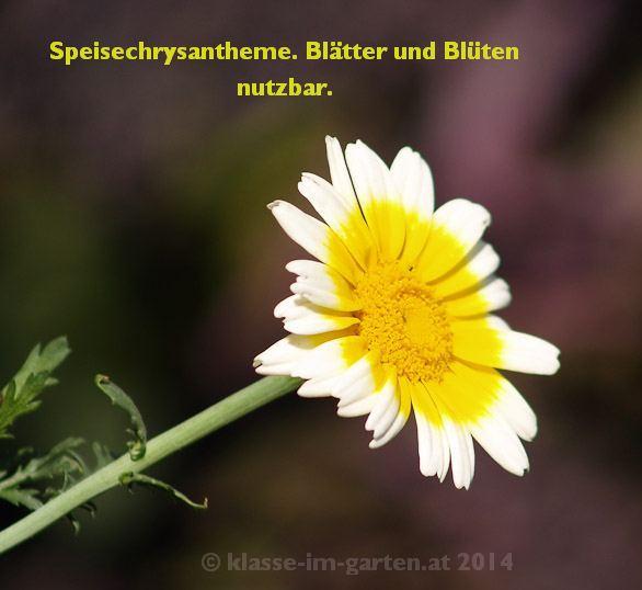 Speisechrysanthemenblüte