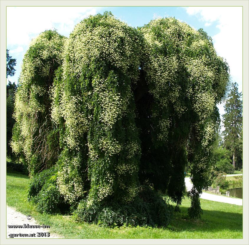 Haenge-Schnurbaum im Schlosspark zu Lednice (Eisgrub)