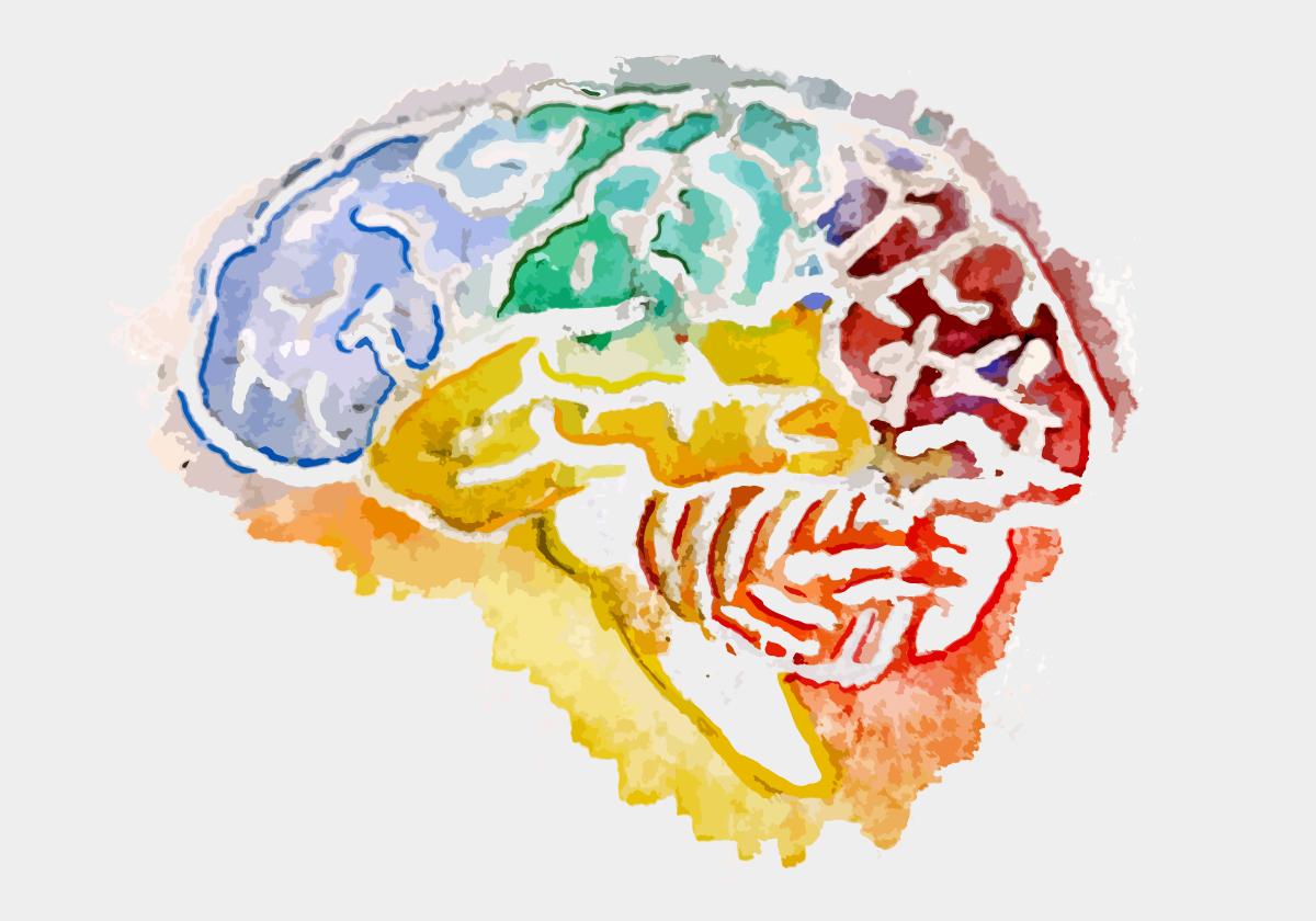 Watercolor illustration of a human brain