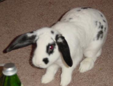Bella as a baby bunny