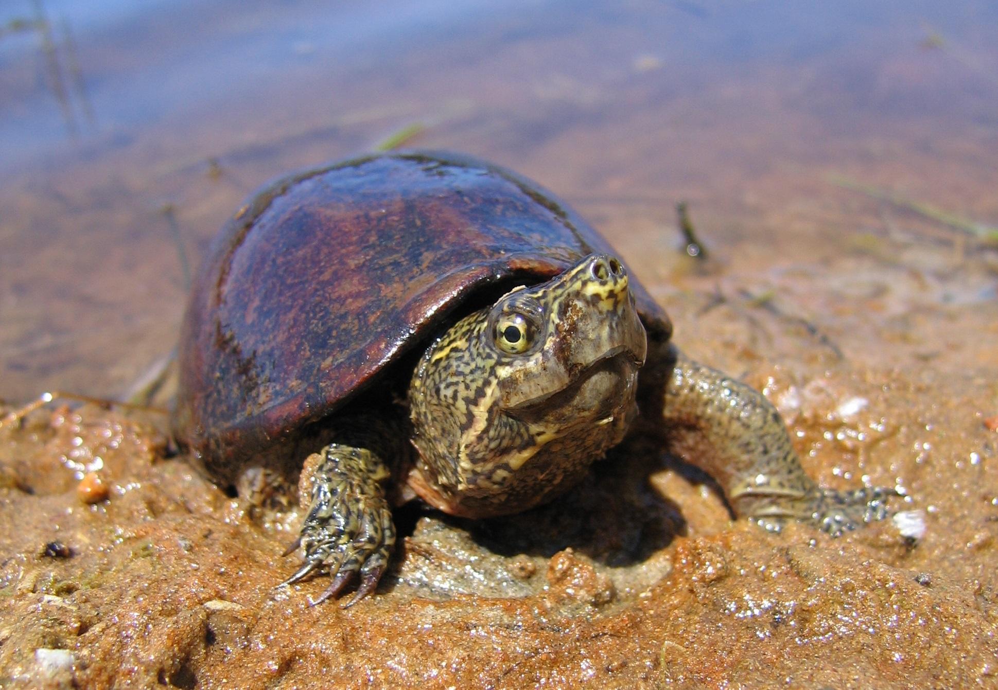 Eastern Muskoka Turtle (Credit: Scott Gillingwater)