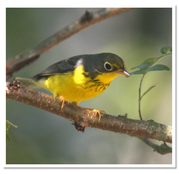 Canada Warbler (photo by Emmett Hume)