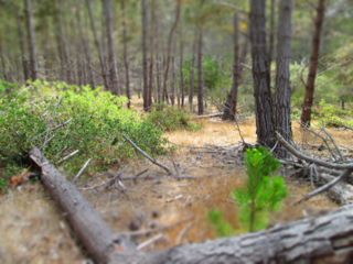 Health of Pine Trees on the Ranch