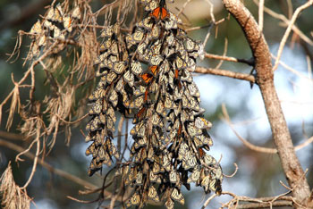 Monarchs on the Ranch