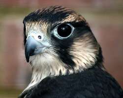 Crimes against Scotland's birds of prey down 17 per cent