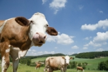 Cows; photo by Shutterstock