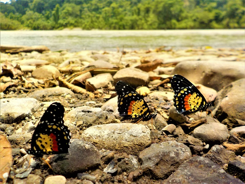 Three yellow and orange butterflies on rocks beside river