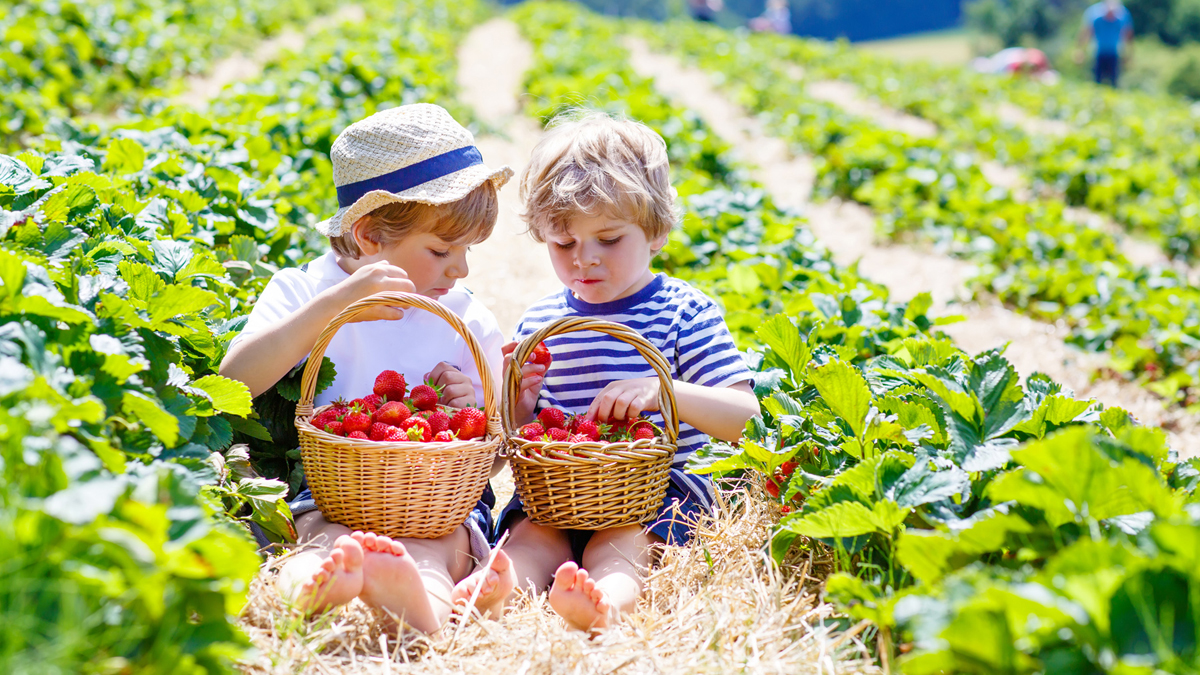Two young boys sitting in a strawberry field looking at their baskets full of fresh picked strawberries