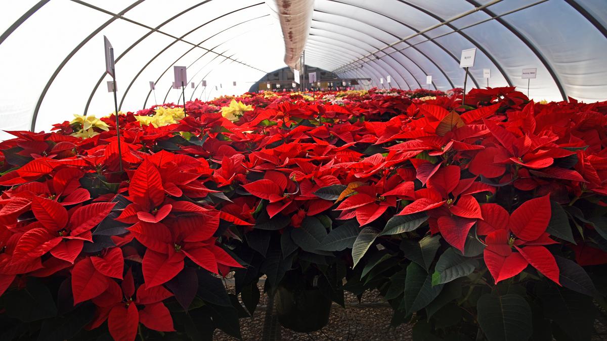 Bright, beautiful poinsettia plants rows deep inside a greenhouse