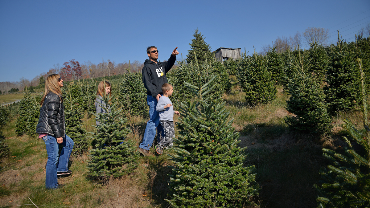 A family searches for the perfect frasier fir Christmas tree at a Christmas tree farm in North Carolina.