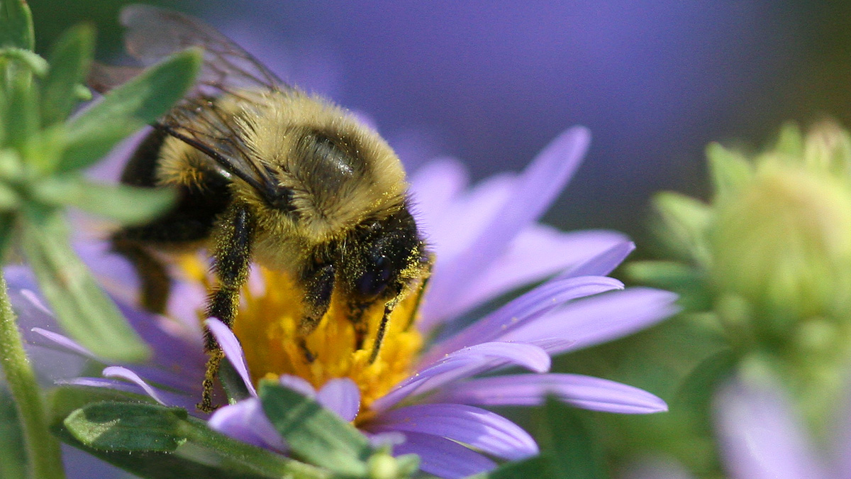A bumble bee gathers pollen from a purple aster flower