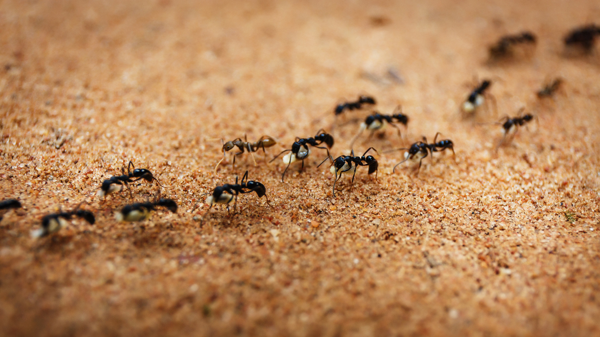 Ants are marching in line over a sandy surface