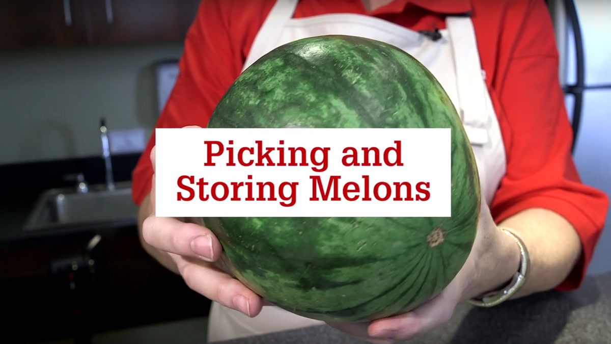 """Close up of hands holding a watermelon with text laid over the image that reads """"picking and storing melons."""""""