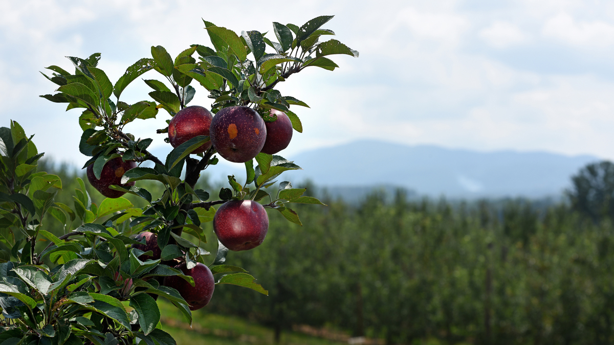 Apples on a branch with the North Carolina mountains in the background