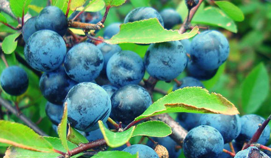 The season for sloes - Image