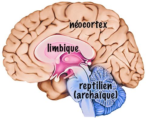 L'Application du Concept de Cerveau Triune en Thérapie
