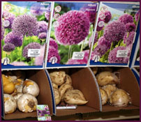 plant bulbs in the fall for spring beauty