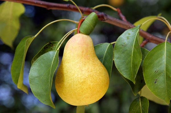 fruit trees on sale at Romence Gardens, West Michigan