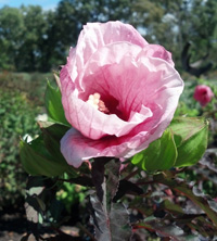 perennials for sale at Romence Garden Center