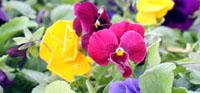 Romence Gardens in Portage sells perennials, trees, shrubs & hostas