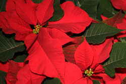Poinsettias at Romence Garden Center, Portage