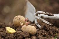 Seed potatoes at Romence Gardens