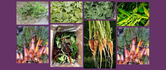 Fresh, Organic Baby Spring Greens from Tuscarora Organic Coop