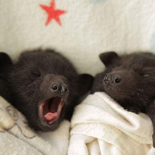 Baby bat yawns...