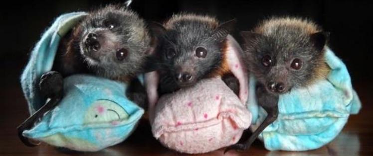 Baby bats in wraps.