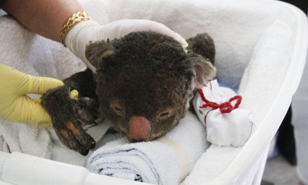 Injured koalas need mittens.