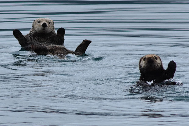 Sea Otters in Prince William Sound - submitted by Michael Lopas