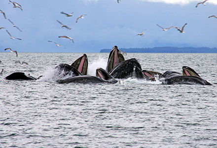 My Alaska News March: Humpback Whales Bubble Net Feeding