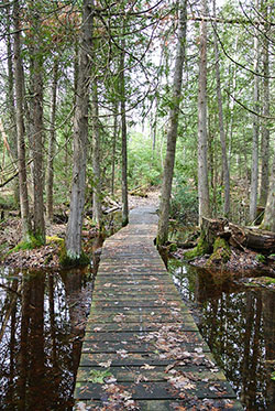 Boardwalk through a cedar swamp.