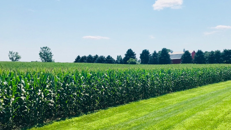 Cornfield with barn in background.
