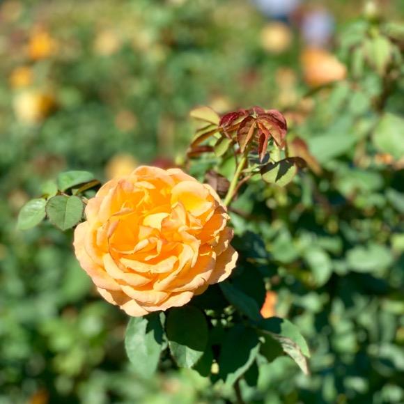Rose in the Lyndale Park Rose Garden.