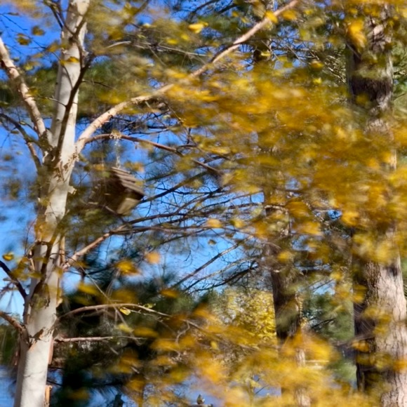 During blustery fall days the autumn leaves cling to the trees, flapping in the wind.