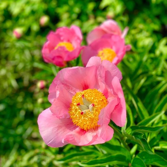 Peony Flowering in Lyndale Rose Garden.